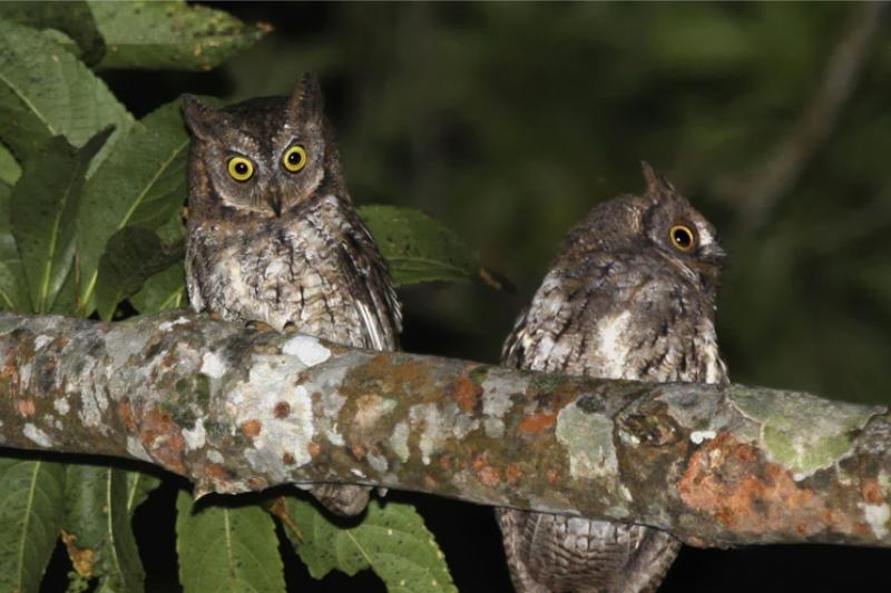 Formaliai aprašyta Indonezijoje atrasta nauja pelėdų rūšis