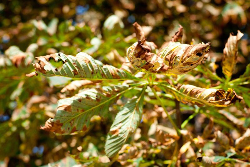 Ieškoma būdų vaduoti anksčiau laiko masiškai ruduojančius medžius
