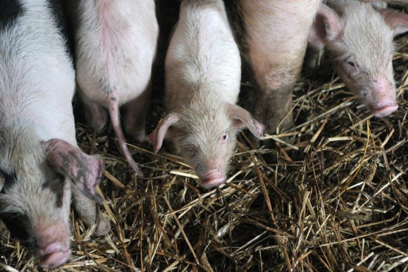 Baltarusijoje galėjo kilti afrikinio kiaulių maro protrūkis?