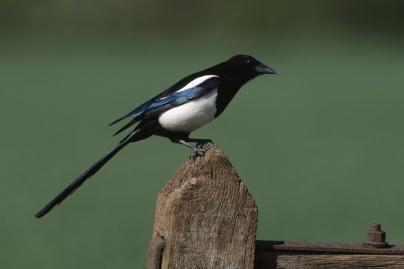 Paukščiai stebina gebėjimais