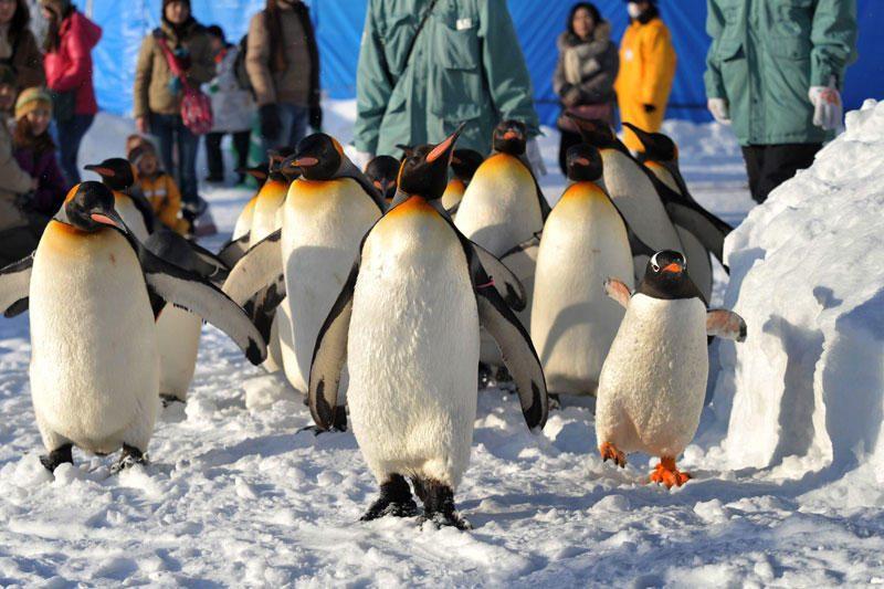 Japonijoje tebeieškoma pasprukusio pingvino
