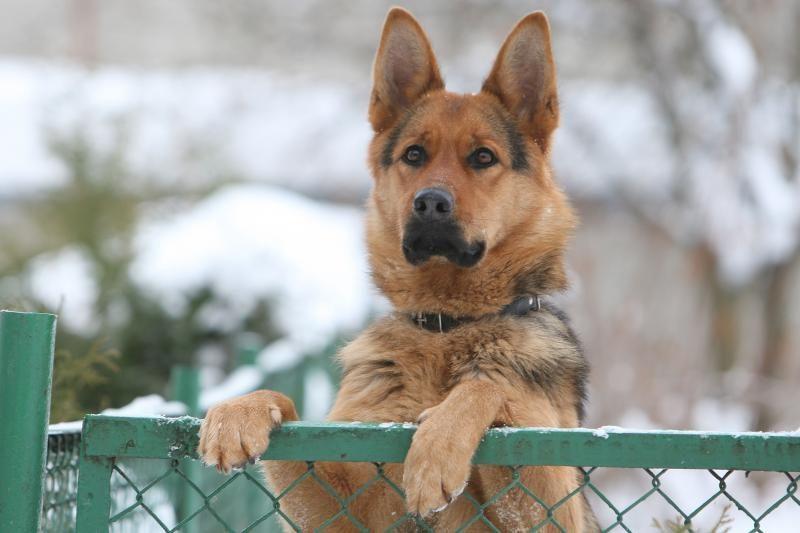 Pasieniečių šuo surado pasiklydusią senutę
