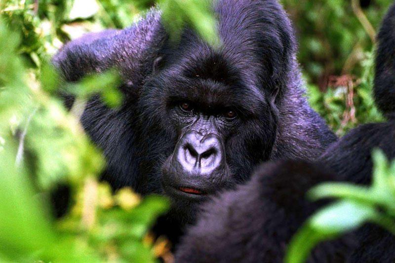 Kamera užfiksavo labai retą gorilų rūšį