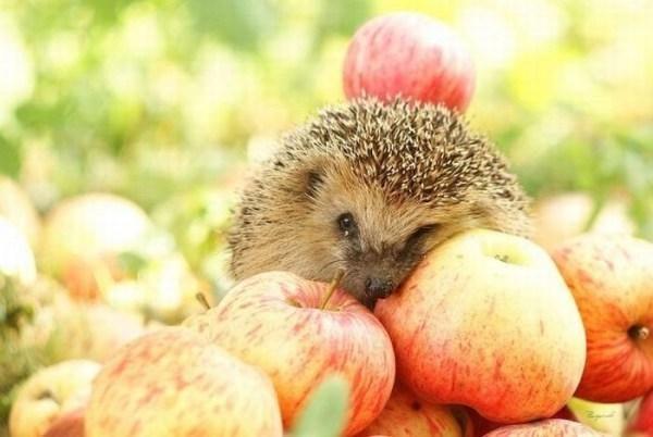 Pavojus! Didžiojoje Britanijoje nyksta ežiai