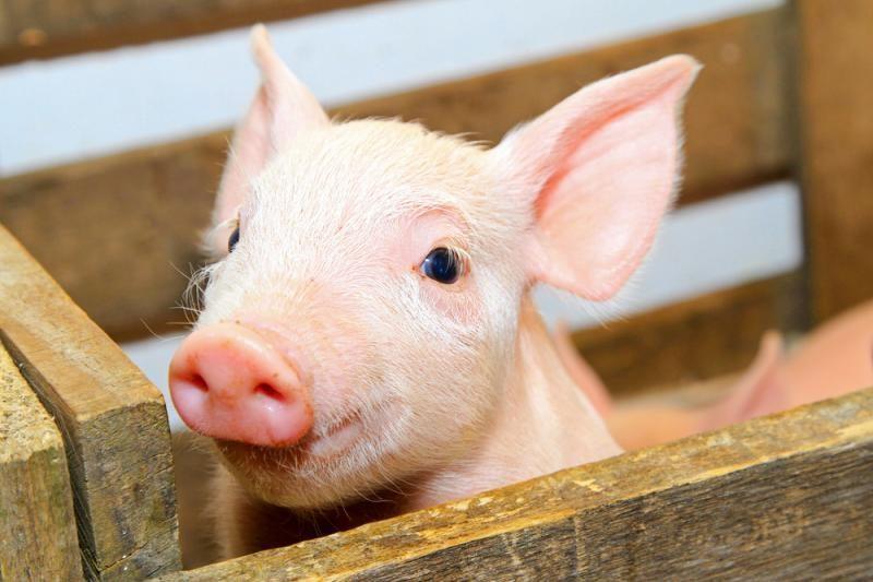 Miniatiūrinis paršelis – normalios kiaulės dydžio