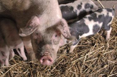 Dėl maro į Leningrado sritį uždrausta išvežti kiaules bei įsivežti pašarus