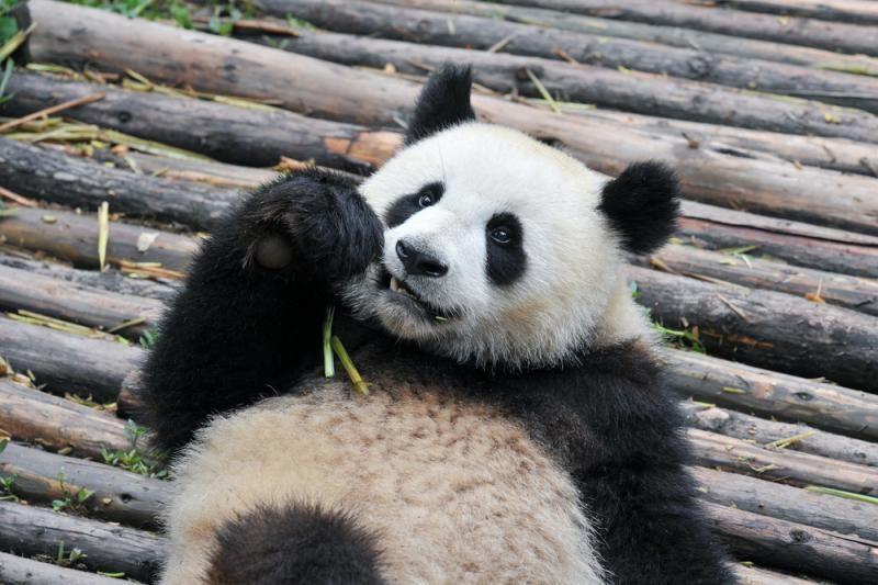 Berlyno zoologijos sode nugaišo 34-erių metų amžiaus didžioji panda