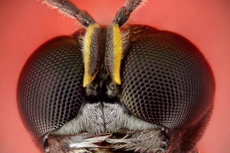 Mažiausia pasaulyje musė gyvena skruzdės galvoje