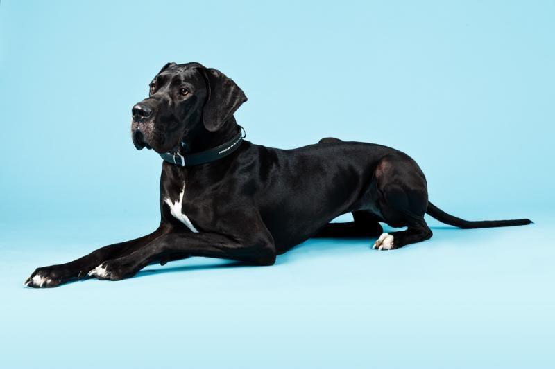 Naujoje Guinesso pasaulio rekordų knygoje - aukščiausias pasaulyje šuo