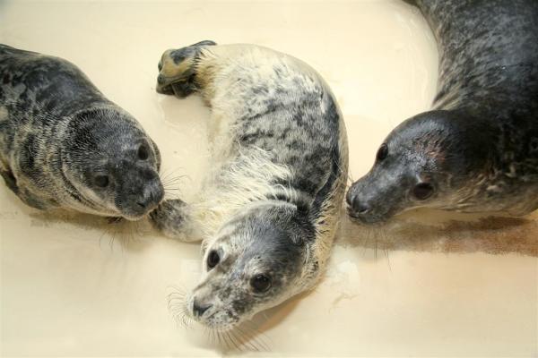 Jūrų muziejus nesutalpina sergančių ruoniukų