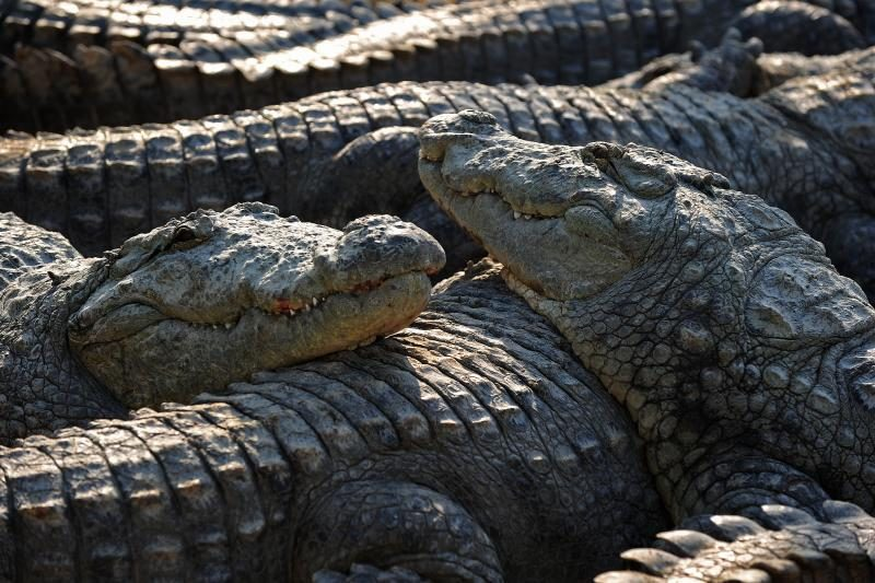 Drąsuoliai ėjo imtynių su aligatoriumi, kad atimtų kiaušinius