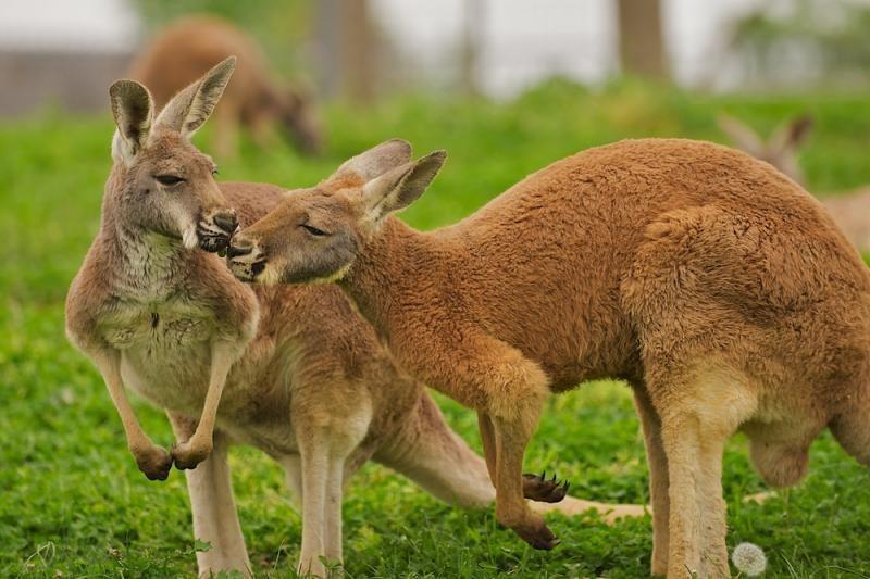 Mokslininkai: kengūrų patelės partnerius renkasi pagal jų bicepsų dydį