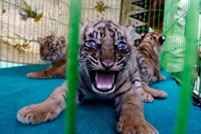 Pasaulį išvydo dar trys Sumatros tigriukai (foto)