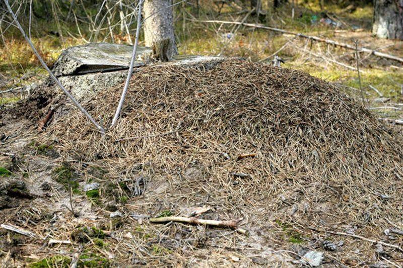 Už liudininko kankinimą skruzdėlyne – teisiamųjų suolas