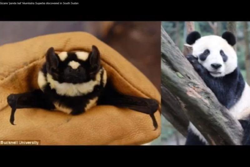 Nauja šikšnosparnių–pandų rūšis atrasta Pietų Sudane