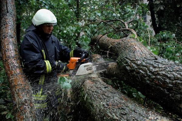 Sostinėje nupjautas bene seniausias ir storiausias miesto medis