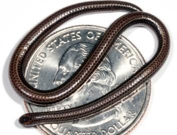 Mažiausia gyvatė pasaulyje – vos 10 cm ilgio