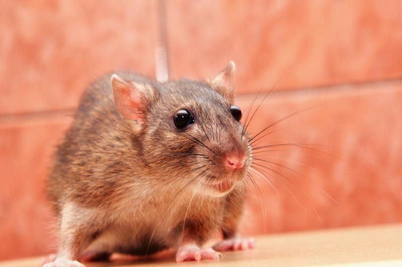 Autobuse - problemos dėl laidus graužiančios žiurkės