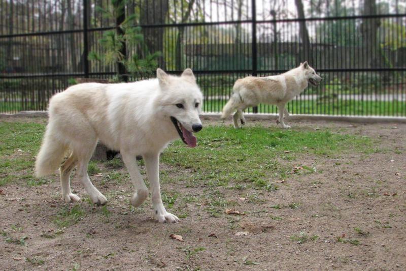 Zoologijos sode apsigyvenę arktiniai vilkai stebina apetitu ir grožiu