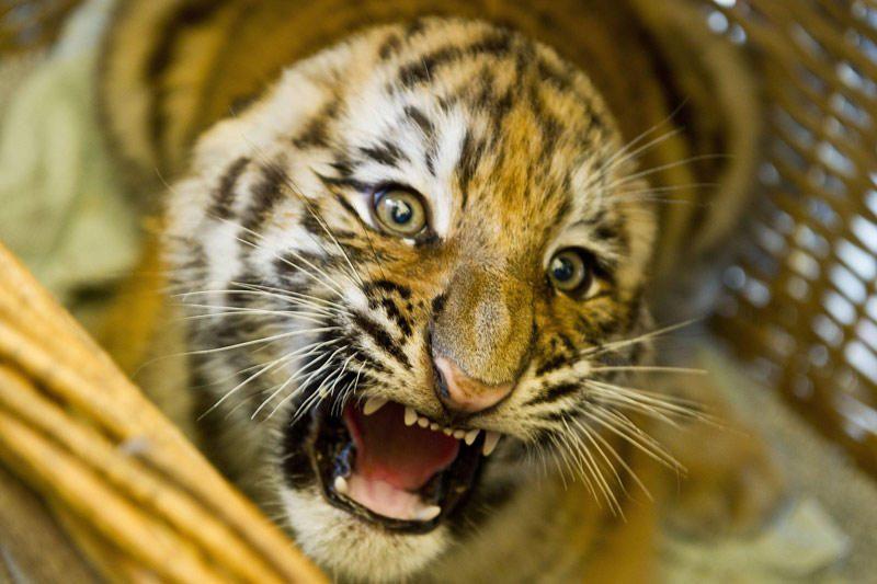 Kinijoje gimęs tigronas turi mažai šansų išgyventi