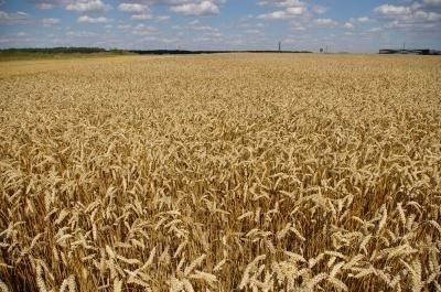 Dėl šiltų orų – ankstesnė javapjūtė, negausus derlius