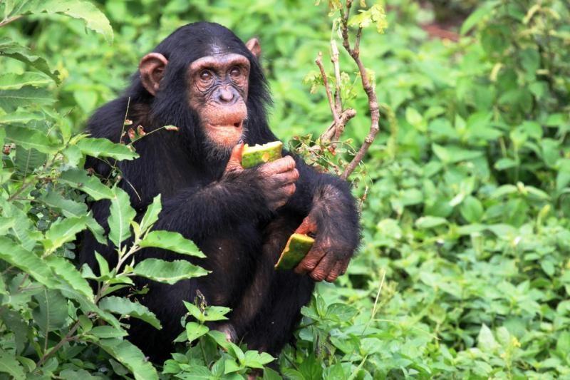 Hepatitu B serganti šimpanzė Regina gyvens nebe viena