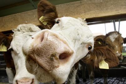 Varėnos rajone rasti galimai dėl išsekimo kritę gyvuliai