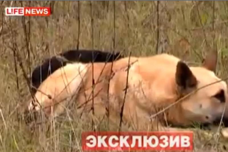 Nufilmuota šuns ištikimybė: gyvūnas gedi negyvos mylimosios