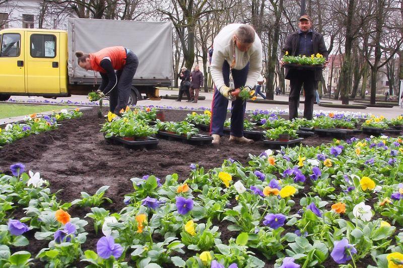 Kaunas netrukus pasipuoš gėlėmis, tačiau naujų gėlynų nebus