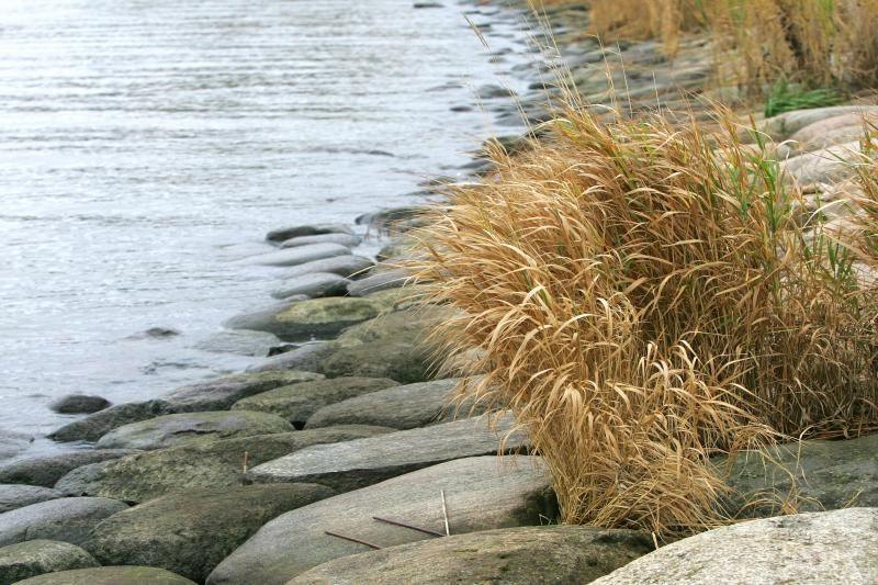 Vilnios   upėje  rasta      skenduolė