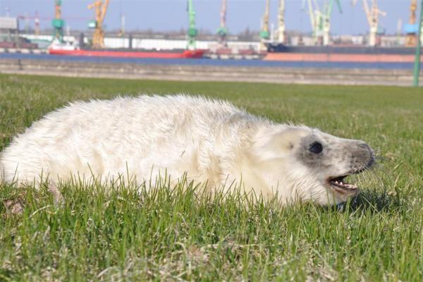Jūrų muziejuje – dar vienas ruoniukas pamestinukas