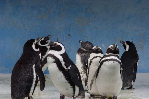 """Pingvinų """"bendrabutyje"""" – 600 tūkst. gyventojų"""