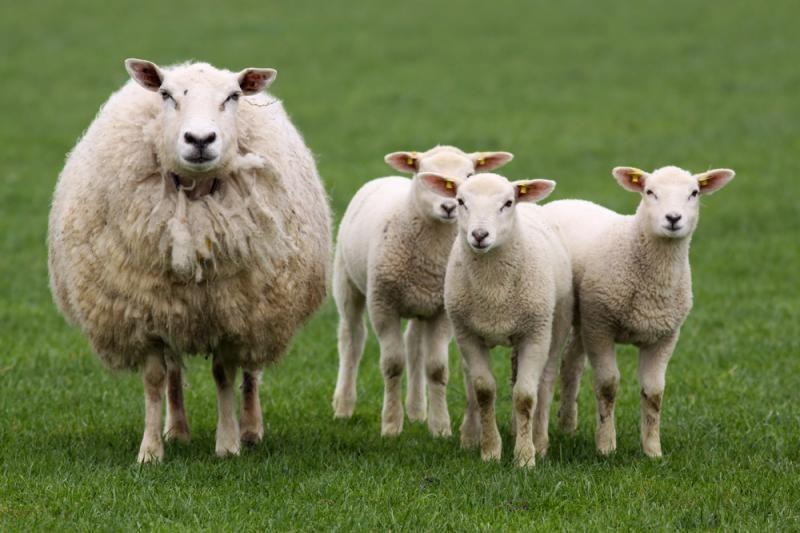 Avių augintojai: valstybės parama neskatina laikyti daugiau avių