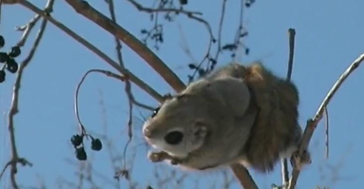 Voverės skraiduolės – mieliausi gyvūnai pasaulyje?