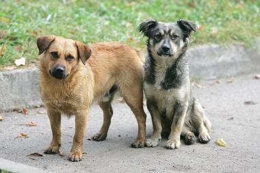 Šunų gaujos šiurpina pietinį rajoną
