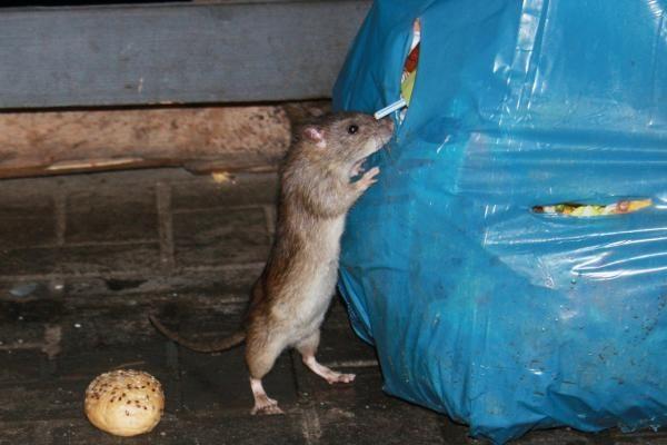 Uragano smūgį atlaikę niujorkiečiai baiminasi žiurkių antplūdžio