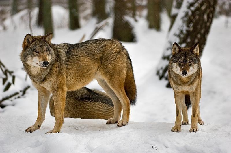 Prisijaukinti vilkų gaują: ar tai įmanoma?