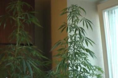 Narkotikų prekeivis kanapes augino daugiabutyje