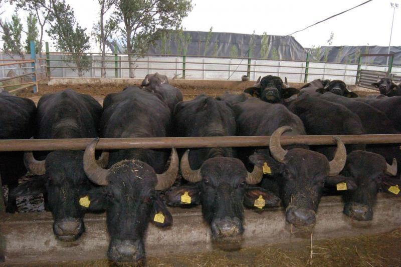 Vietname įniršęs buivolas sužeidė dešimt žmonių