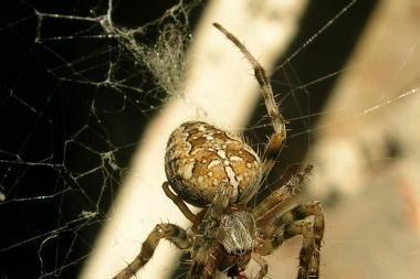 Vorų patelės valgo patinus