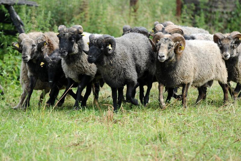 Paprastesni reikalavimai avių skerdykloms turėtų atpiginti avieną