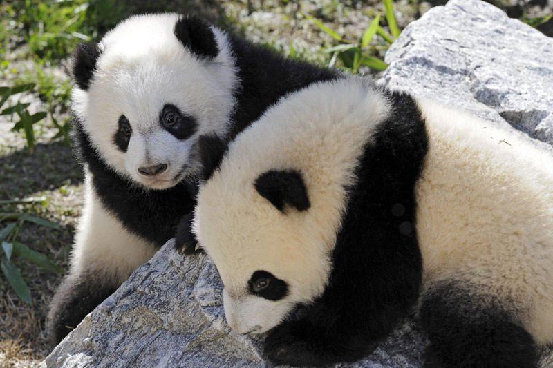 Poravimosi vargai: didžiųjų pandų ruja trunka vos pora dienų per metus
