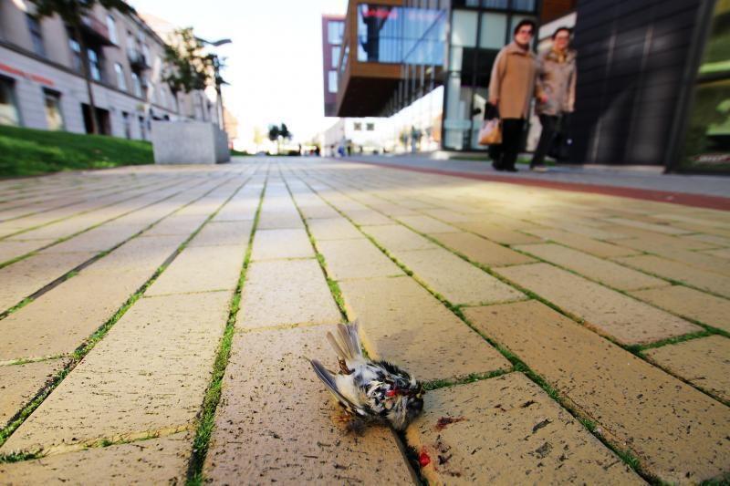 Šaligatvius prie Klaipėdos stiklinių pastatų nuklojo žuvę paukšteliai