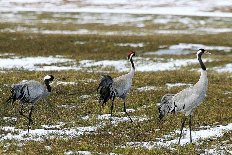 Ornitologas: paukštis - ne traukinys, kuris turi atvykti pagal grafiką