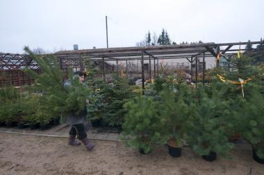 Sostinėje prasideda prekyba kalėdinėmis eglutėmis