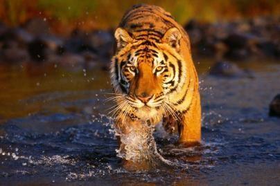 Indija bando gelbėti nykstančius tigrus