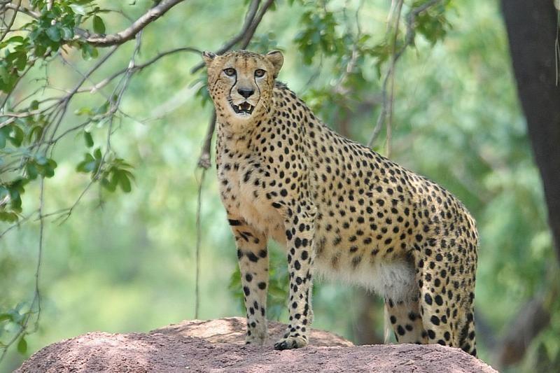 Pasprukusius gepardus namo parginė motinos šauksmas