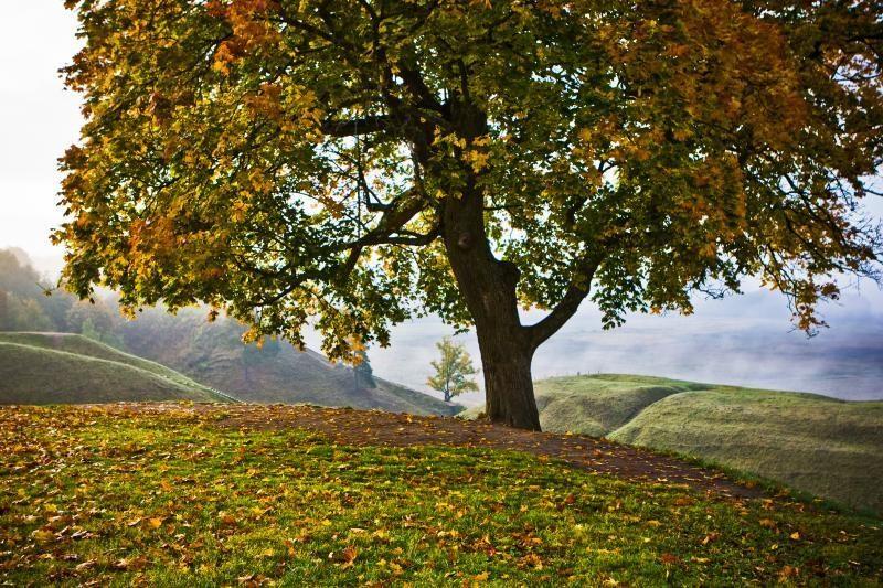 Kodėl lietuviai labiausiai saugojo liepas ir ąžuolus?