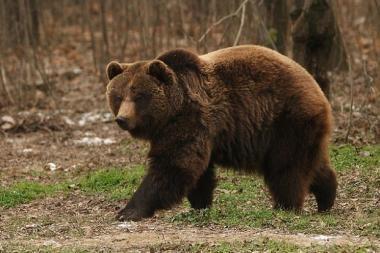 Ekspedicijos į Sibirą vadovas apie meškas: jei užpuolė, geriausia paaukoti draugą