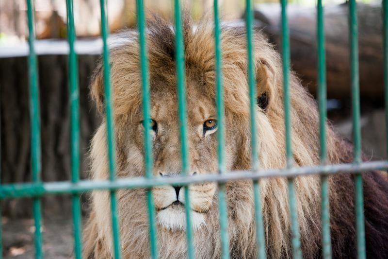 Kinijos zoologijos sodas vietoje liūto mėgino rodyti šunį